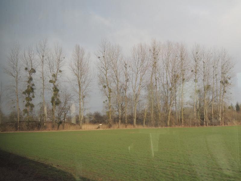 Bäume mit Misteln in der Oberrheinebene